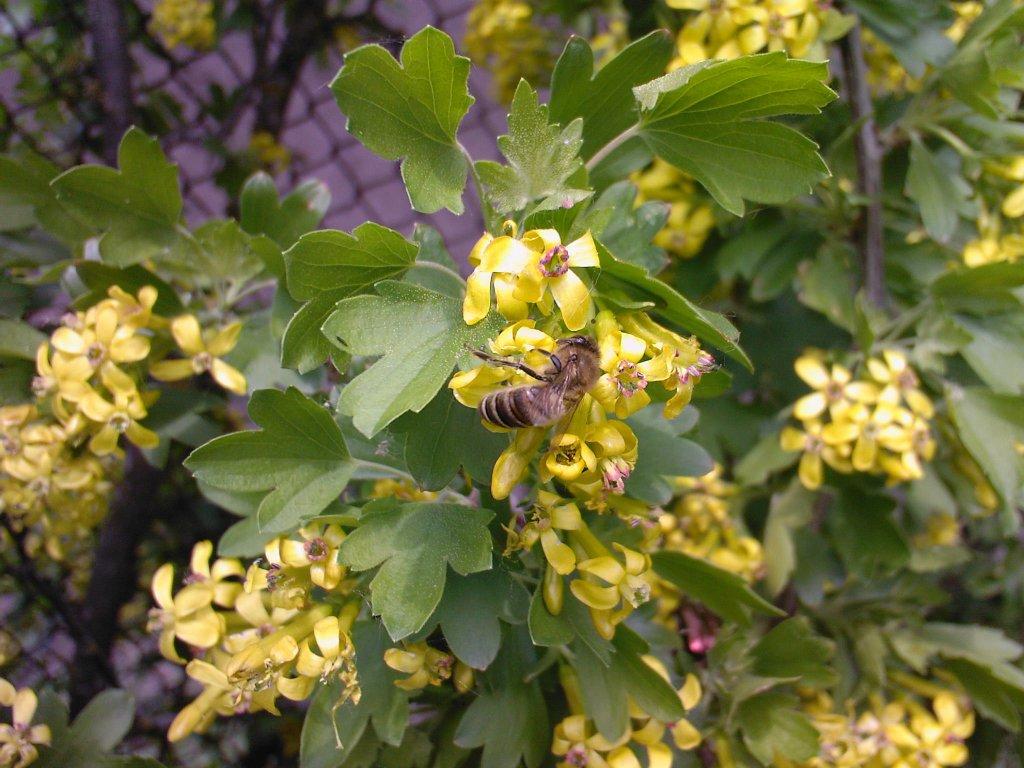 Пчела на цветущей смородине