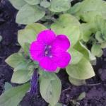 Цветок на клумбе