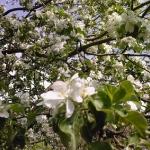 Яблоня-3